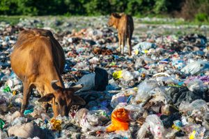 Cows eating trash_waste crisis