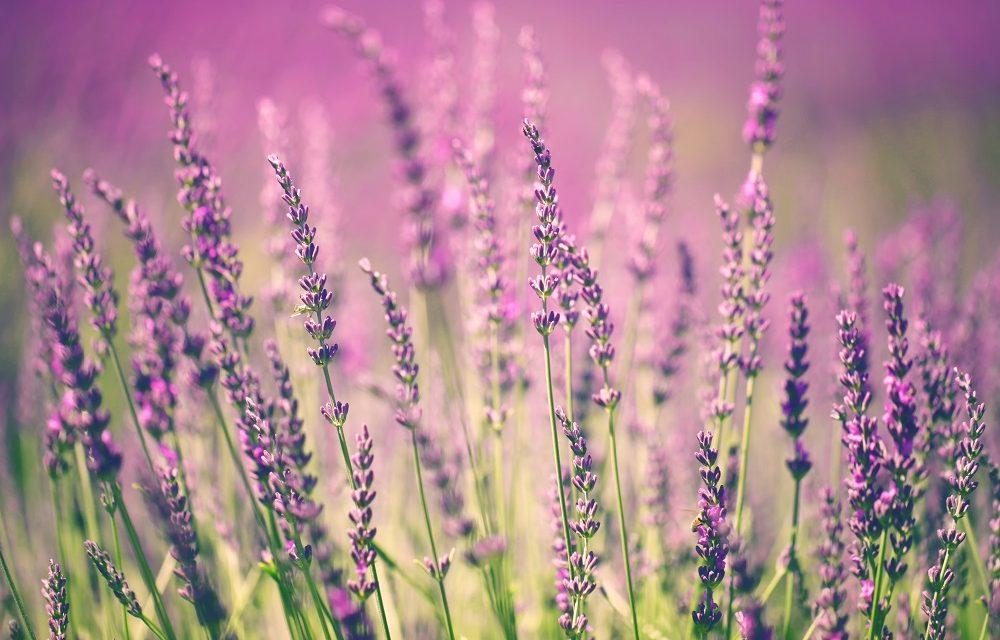 Lavender Love: The Good Work Behind our Lavender Hill Range