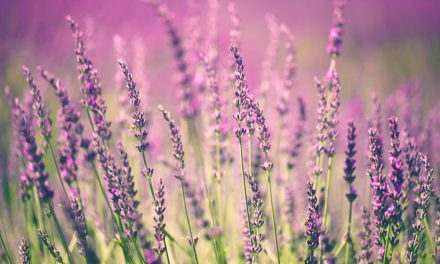 Lavender Love: The Good Work Behind our Lavender Hill Range