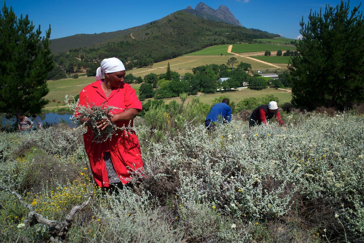 Fynbos Harvest