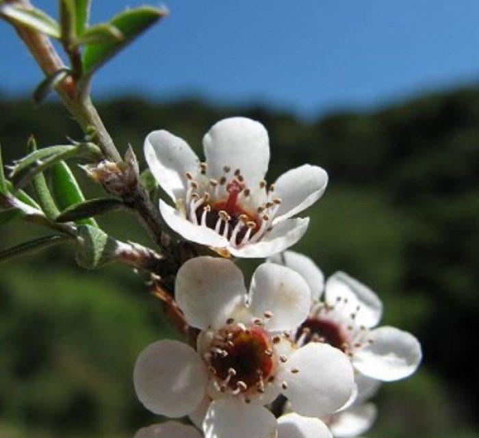 The Many Uses of Alpine Manuka Oil