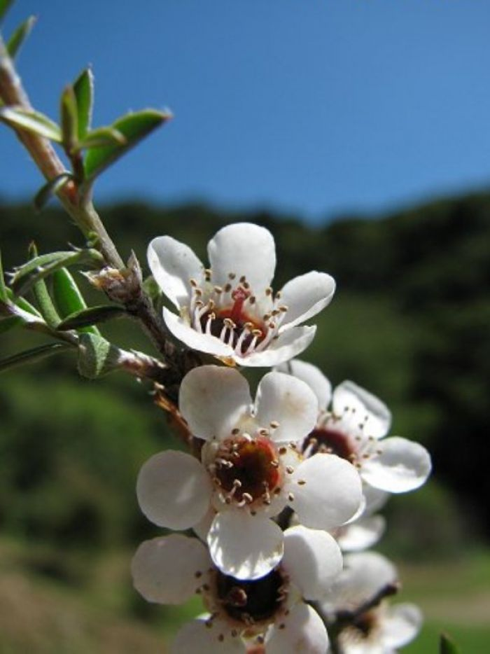 The Many Uses of Alpine Manuka Oil