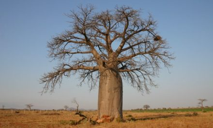 The Magic of Baobab: Superpowers of a Superfruit (by Nina Geraghty)