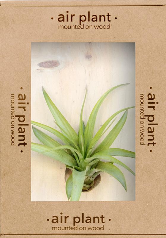 Buy Microgarden Air Plant Tillandsia Multiflora Online
